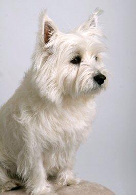 Westie West Highland White Terrier
